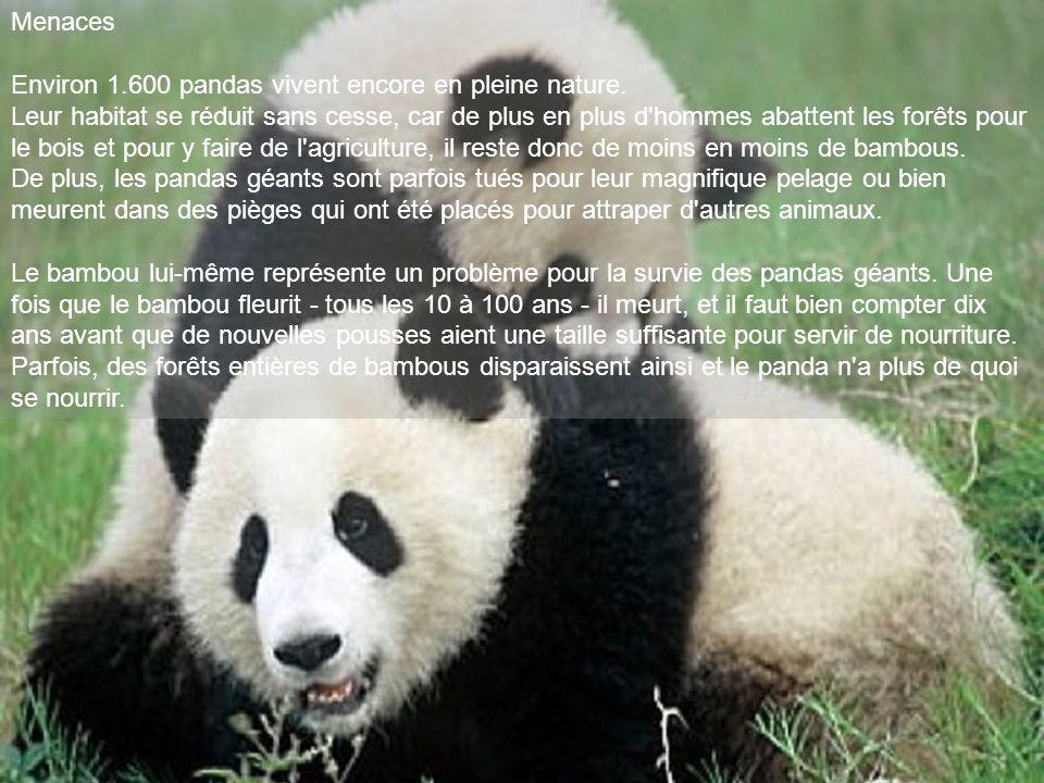 Menaces Environ 1.600 pandas vivent encore en pleine nature. Leur habitat se réduit sans cesse, car de plus en plus d'hommes abattent les forêts pour
