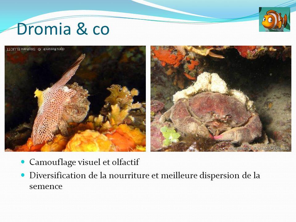 Camouflage visuel et olfactif Diversification de la nourriture et meilleure dispersion de la semence Dromia & co