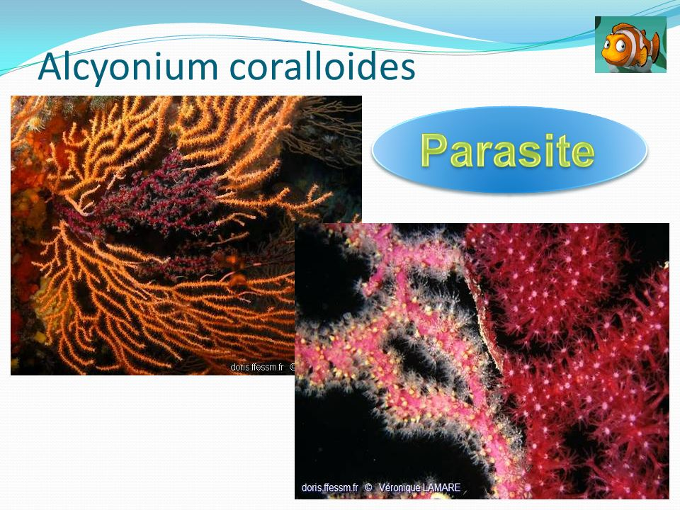 Alcyonium coralloides