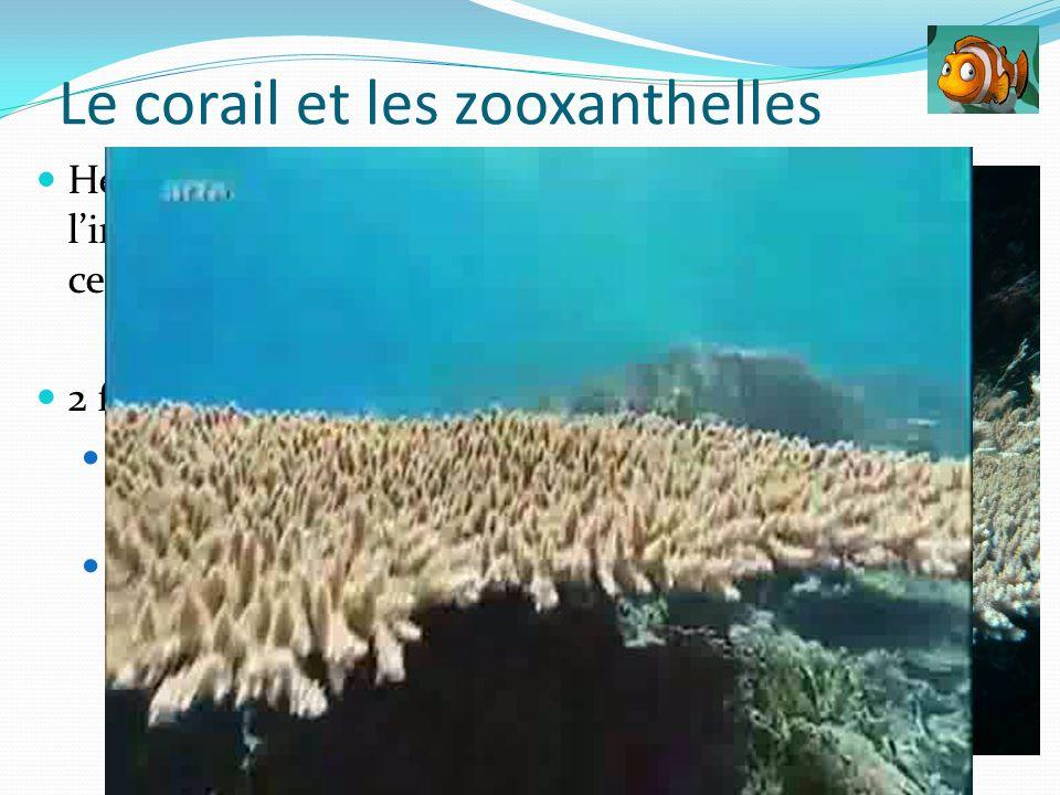 Hébergées à lintérieur des cellules (polype) 2 fonctions: Producteur de nourriture Aide à la formation du squelette Le corail et les zooxanthelles