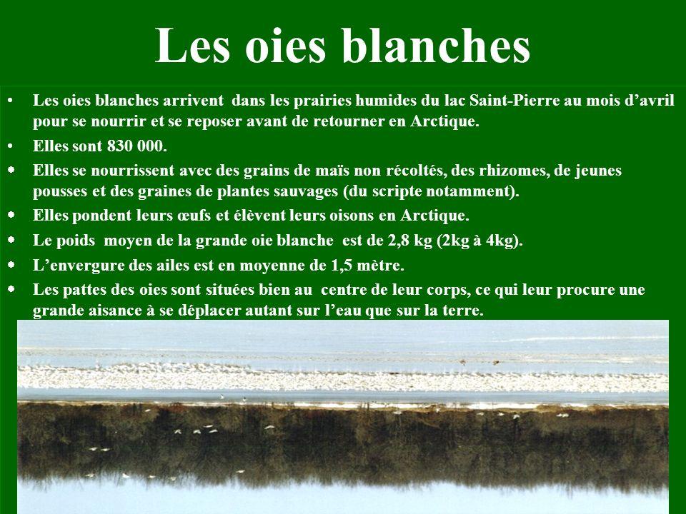 Nos beaux oiseaux Combien despèces doiseaux nichent au Lac St-Pierre? Réponse:167 Photo prise sur le site www.oies.com