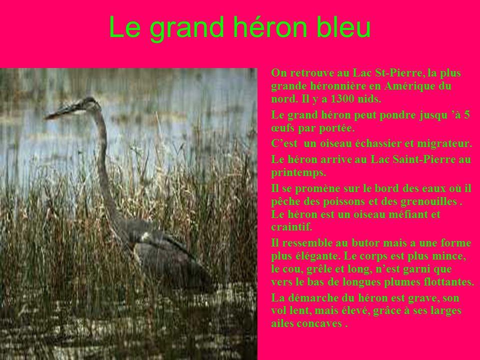 Le Canard Colvert au Lac Saint-Pierre Le canard colvert mâle a un plumage aux couleurs vives, tandis que celui de la femelle est sans éclat. Il vit da