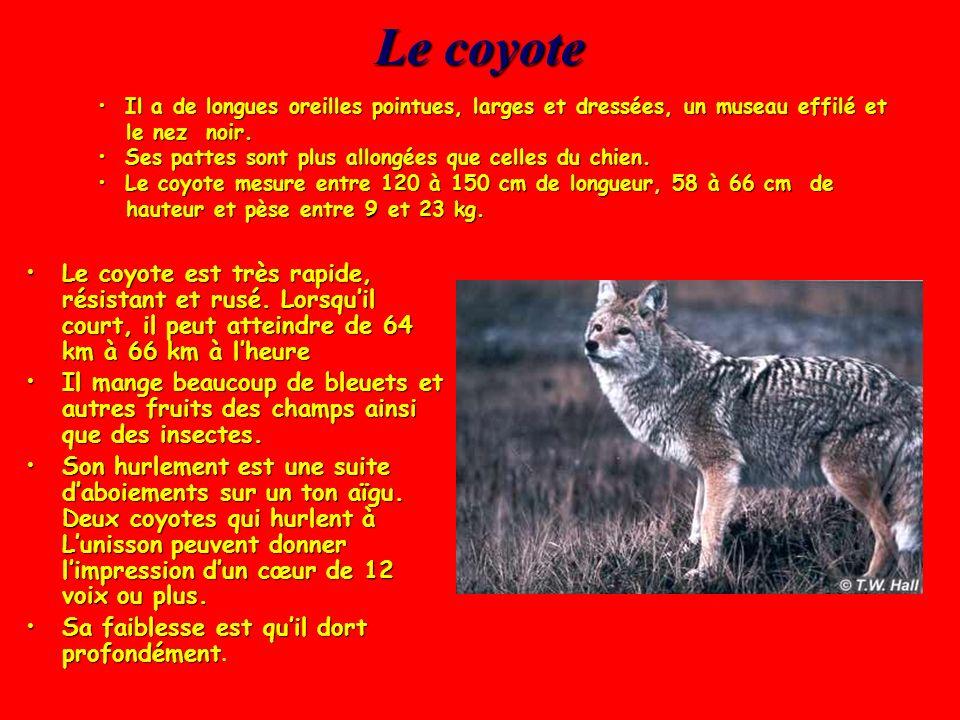 Quelques mammifères Quel mammifère est arrivé sur la réserve du Lac St-Pierre suite à lapparition du cerf de Virginie? Réponse: Le coyote