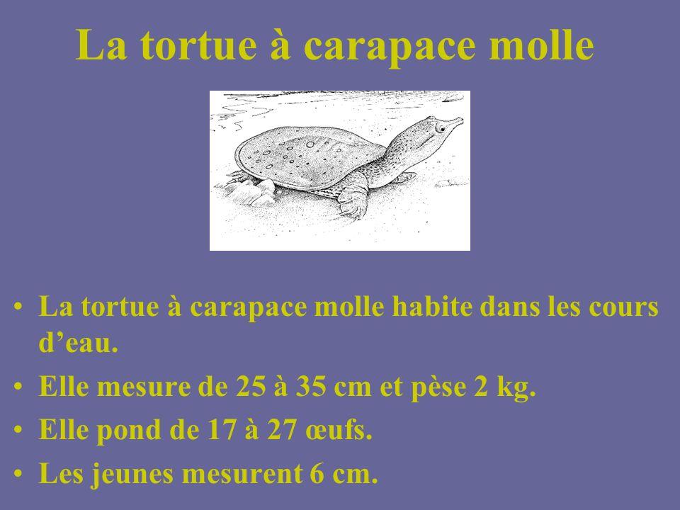 Tortue serpentine Souvent la tortue senfouit simplement dans la vase et y demeure durant de longues périodes. Elle est active surtout le matin et tôt