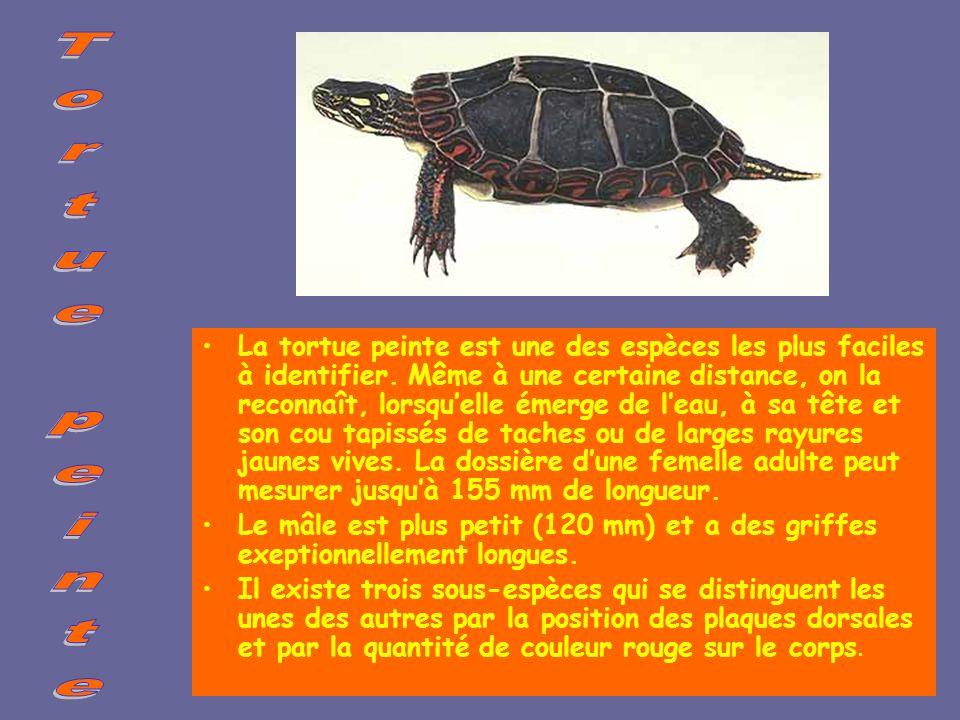 La tortue à carapace molle La tortue à carapace molle habite dans les cours deau. Elle mesure de 25 à 35 cm et pèse 2 kg. Elle pond de 17 à 27 œufs. L