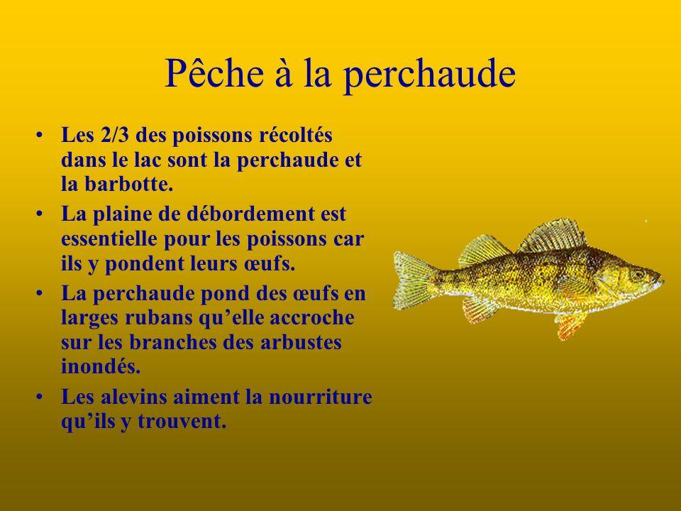 Les 2/3 des poissons récoltés dans le lac sont la perchaude et la barbotte.