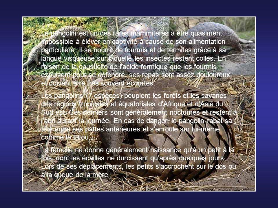Le sengi à face grise (Rhynchocyon udzungwensis), aussi appelé à tort musaraigne- éléphant, est un mammifère du genre Rhynchocyon découverte dans les