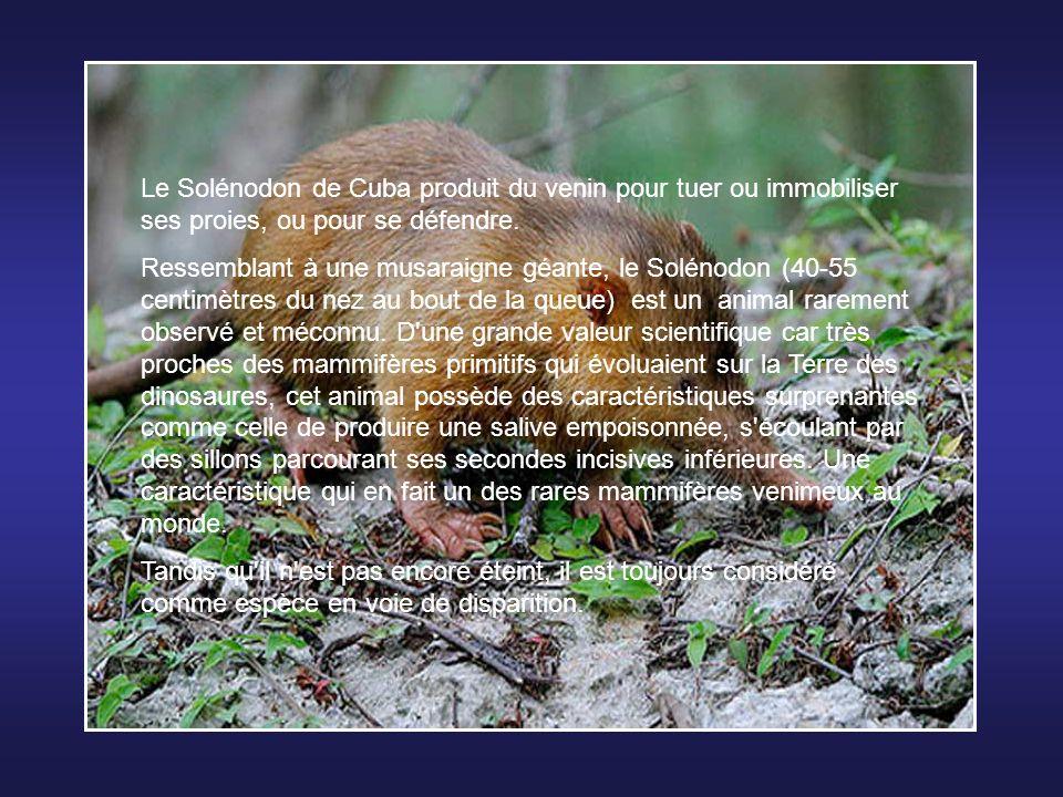 Le pangolin est un des rares mammifères à être quasiment impossible à élever en captivité à cause de son alimentation particulière. Il se nourrit de f