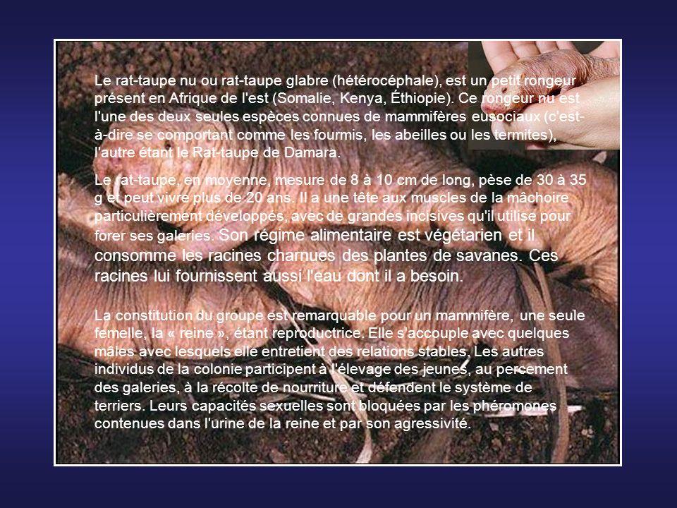 L'Agouti est un rongeur ayant la taille d'un lièvre qui vit en Guyane, en Amérique centrale et en Guadeloupe. Il mesure entre 40 et 60 cm, pèse entre