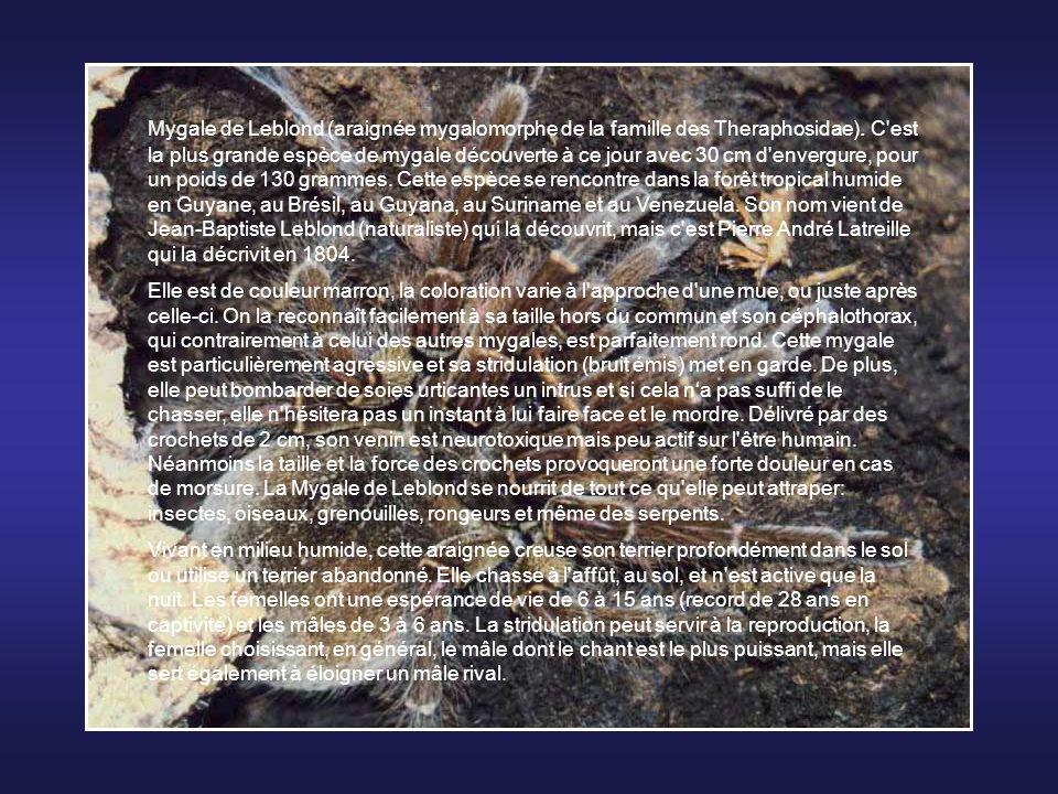 Le Glouton ou Carcajou (Gulo gulo) est une espèce de mammifère omnivore, mais surtout carnivore, de la famille des mustélidés (Belette pygmée, Loutre