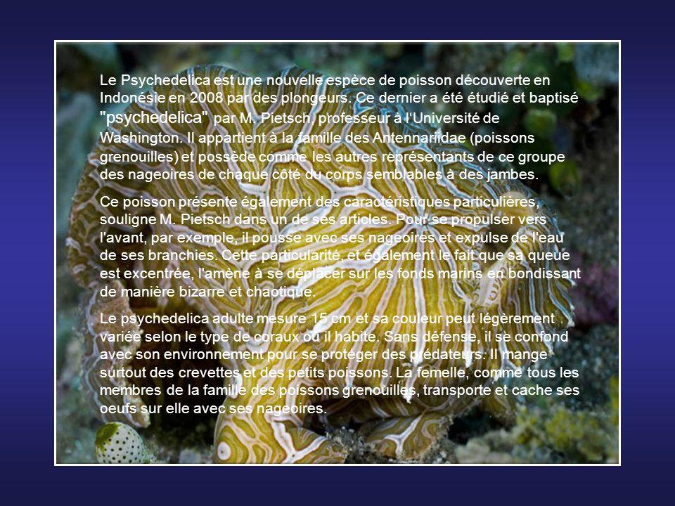 Le Blobfish (Psychrolutes marcidus) est une espèce de poisson des abysses vivant entre 600 et 1200 mètres de profondeur, au large des côtes de lAustra
