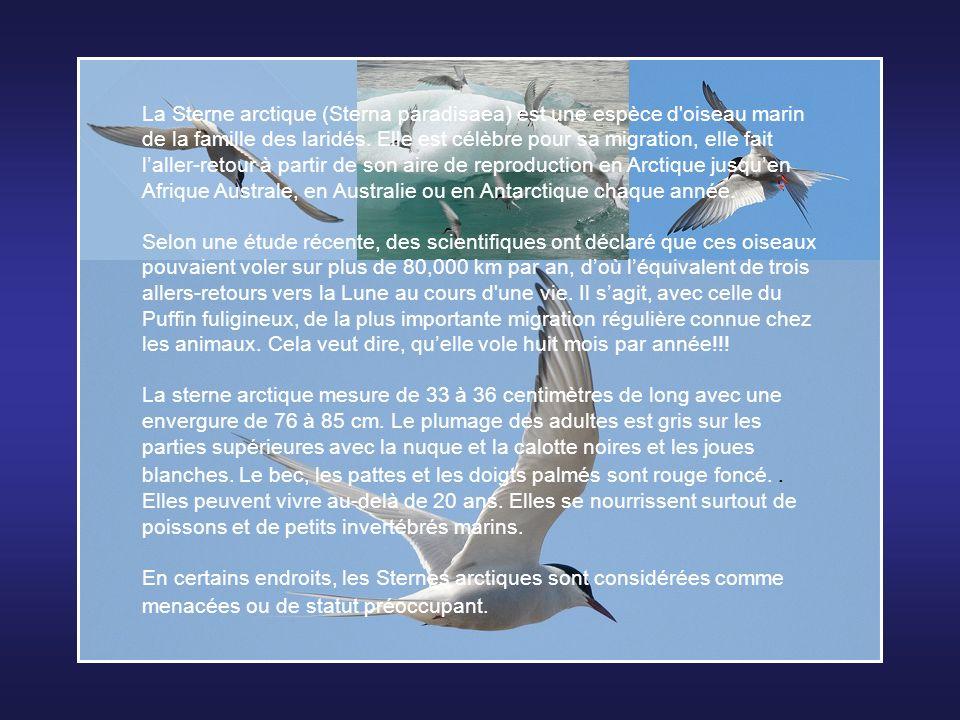 Le Bathynome Géant (Bathynomus giganteus) est un isopode marin de très grande taille, il fait partie des crustacés, un sous-embranchement des arthropo