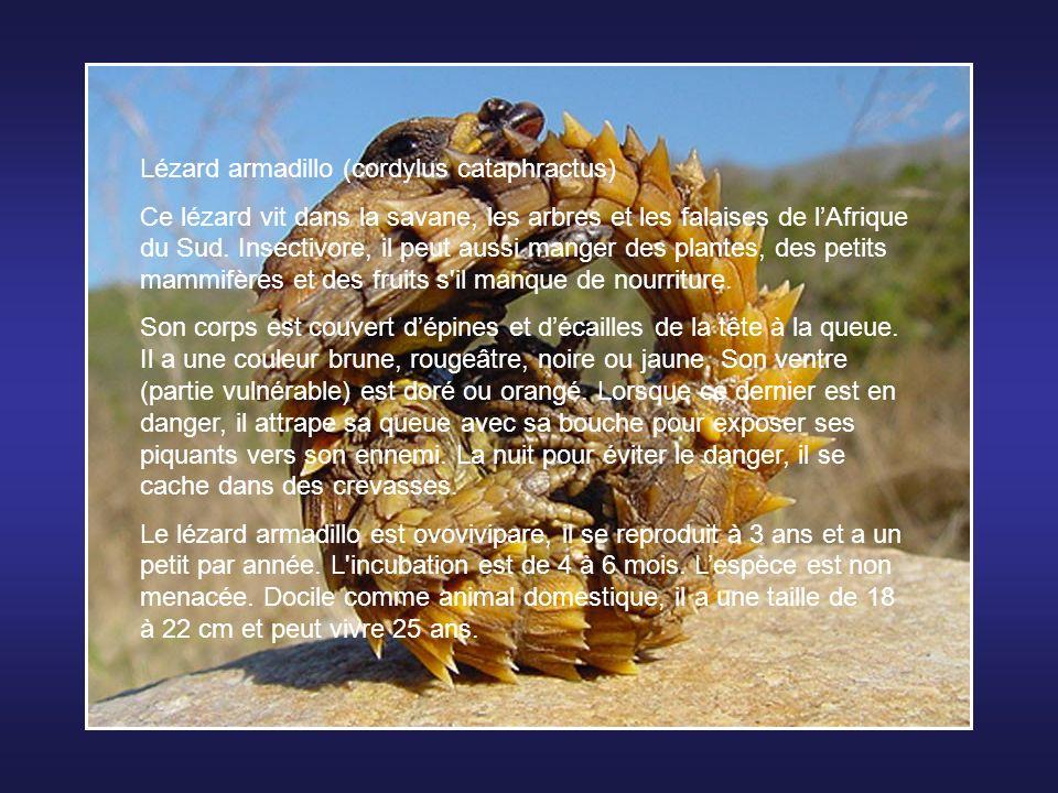 Lézard armadillo (cordylus cataphractus) Ce lézard vit dans la savane, les arbres et les falaises de lAfrique du Sud.