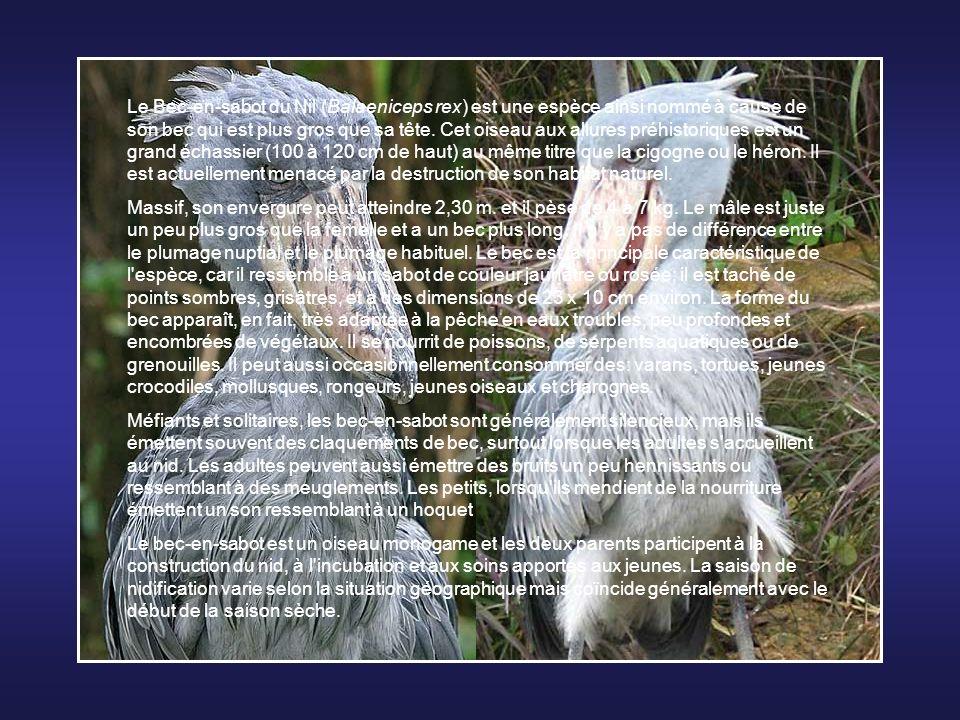 La Grue du Japon (Grus japonensis), ou Grue de Mandchourie est un grand échassier de la famille des gruidae. C'est un des plus gros oiseaux du monde: