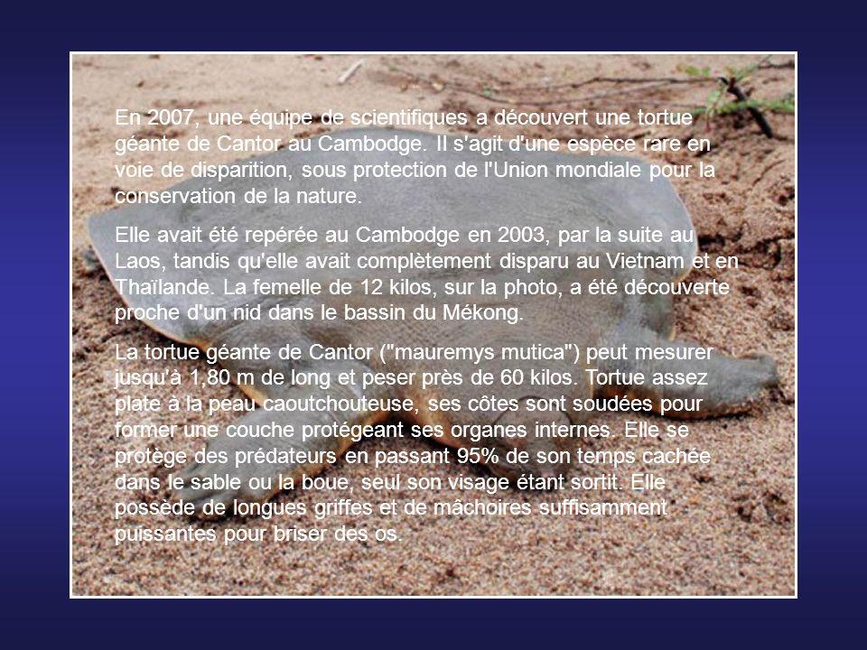 En 2007, une équipe de scientifiques a découvert une tortue géante de Cantor au Cambodge.