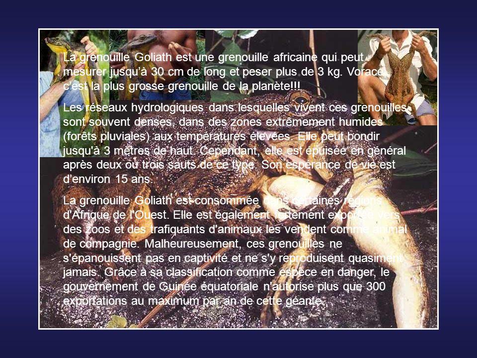 Le Solénodon de Cuba produit du venin pour tuer ou immobiliser ses proies, ou pour se défendre.