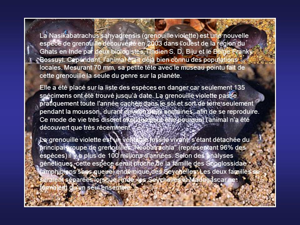 La Nasikabatrachus sahyadrensis (grenouille violette) est une nouvelle espèce de grenouille découverte en 2003 dans l ouest de la région du Ghats en Inde par deux biologistes, l Indien S.