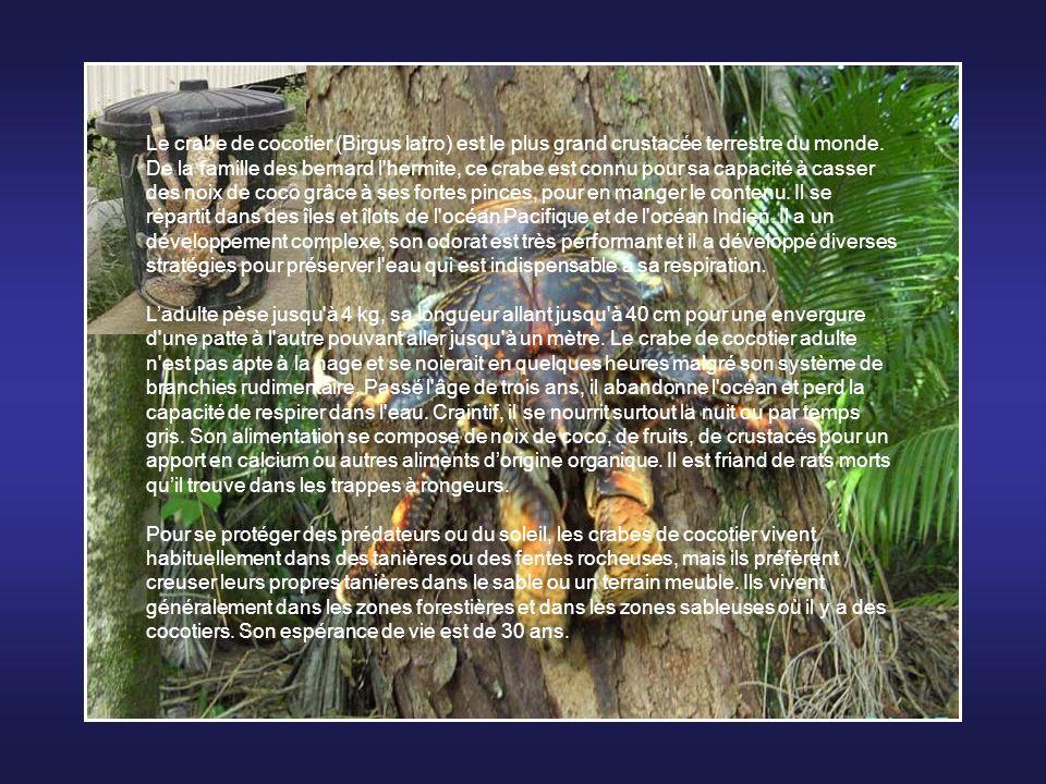 Le crabe de cocotier (Birgus latro) est le plus grand crustacée terrestre du monde.