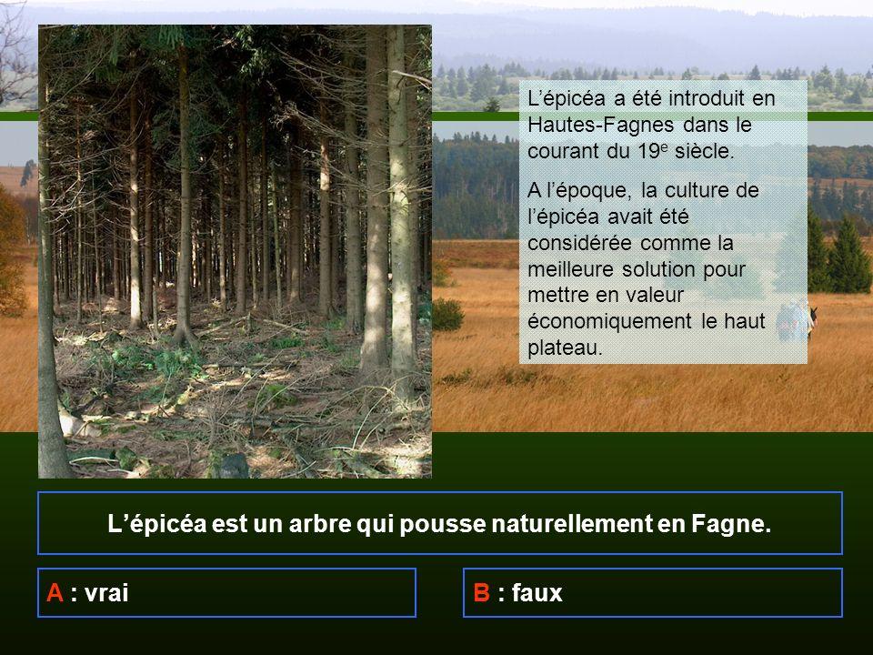 Lépicéa est un arbre qui pousse naturellement en Fagne.