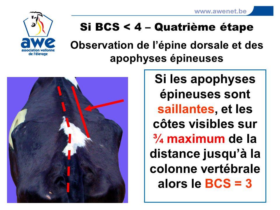 Si les apophyses épineuses sont saillantes, et les côtes visibles sur ¾ maximum de la distance jusquà la colonne vertébrale alors le BCS = 3 Si BCS <