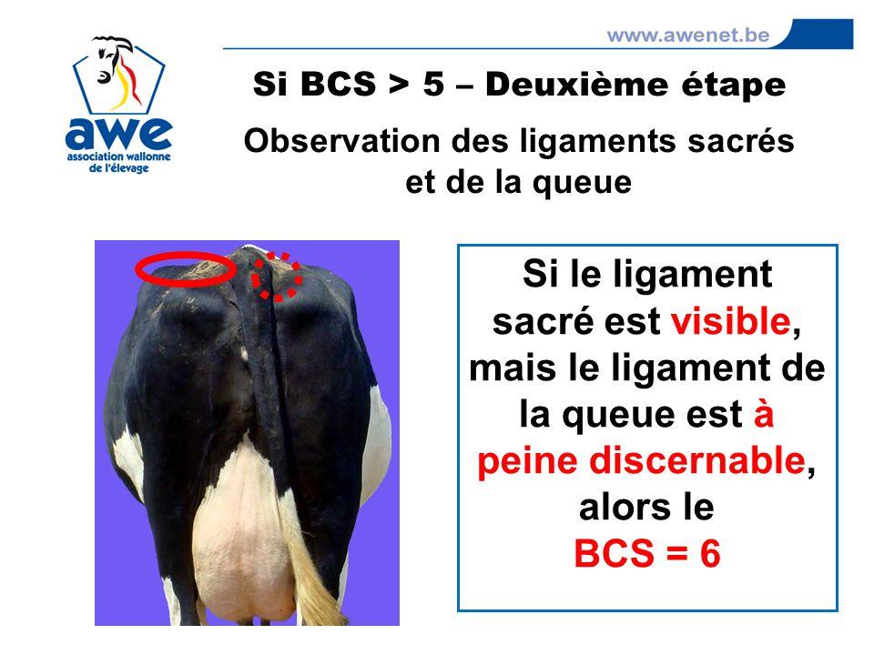 Si le ligament sacré est visible, mais le ligament de la queue est à peine discernable, alors le BCS = 6 Si BCS > 5 – Deuxième étape Observation des l