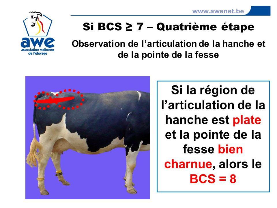 Si la région de larticulation de la hanche est plate et la pointe de la fesse bien charnue, alors le BCS = 8 Si BCS 7 – Quatrième étape Observation de