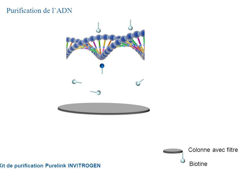 Purification de lADN Kit de purification Purelink INVITROGEN Biotine Colonne avec filtre