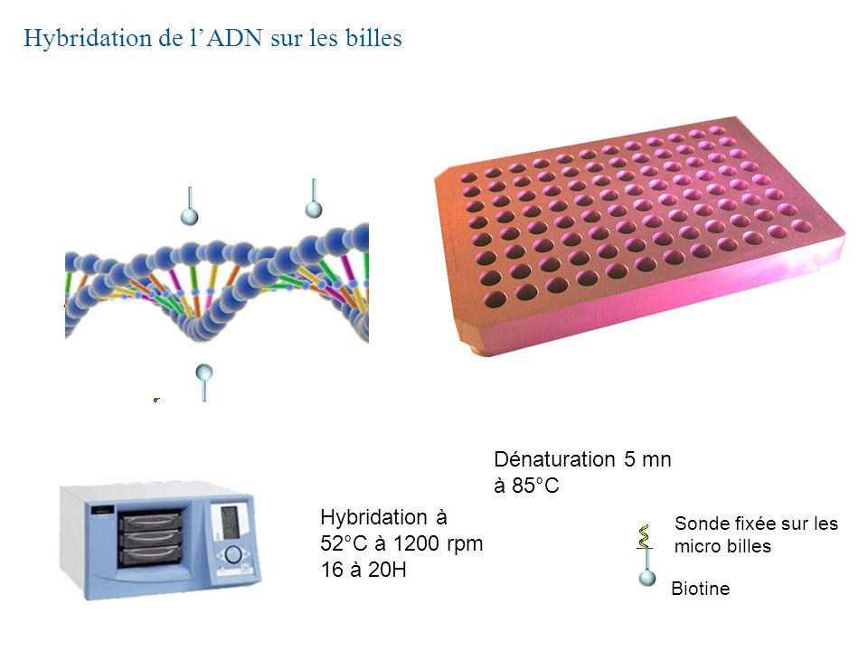 Hybridation de lADN sur les billes Biotine Sonde fixée sur les micro billes Hybridation à 52°C à 1200 rpm 16 à 20H Dénaturation 5 mn à 85°C