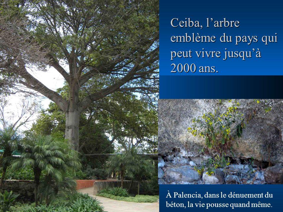 Ceiba, larbre emblème du pays qui peut vivre jusquà 2000 ans. À Palencia, dans le dénuement du béton, la vie pousse quand même.