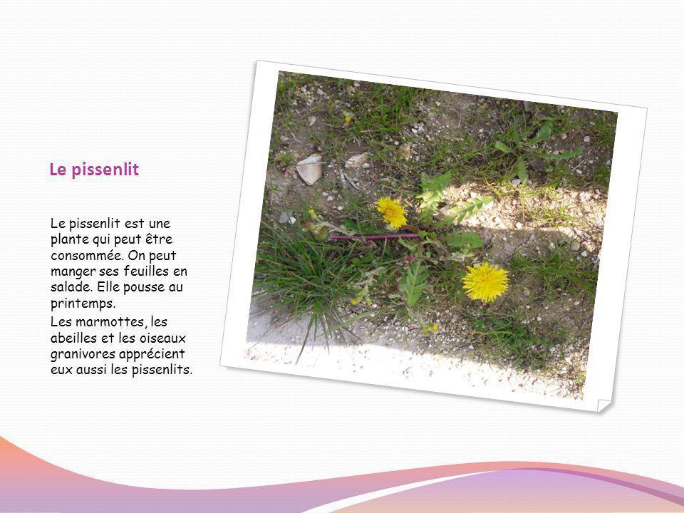 Le pissenlit Le pissenlit est une plante qui peut être consommée. On peut manger ses feuilles en salade. Elle pousse au printemps. Les marmottes, les