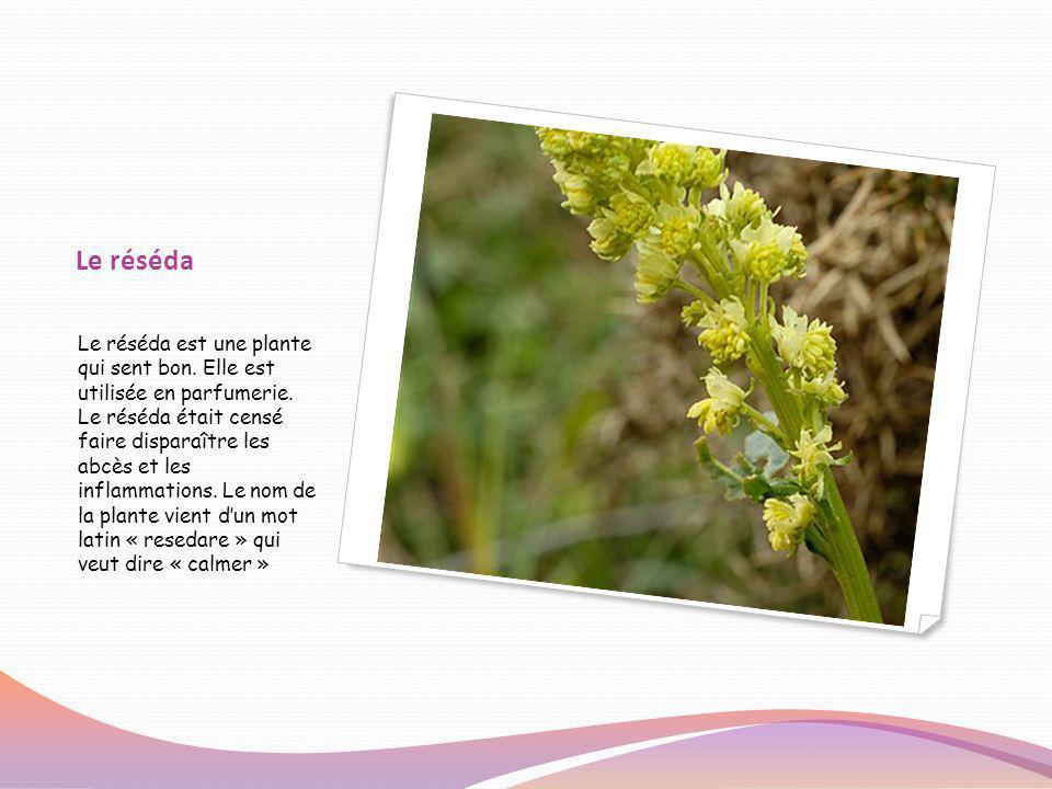 Le réséda Le réséda est une plante qui sent bon. Elle est utilisée en parfumerie. Le réséda était censé faire disparaître les abcès et les inflammatio