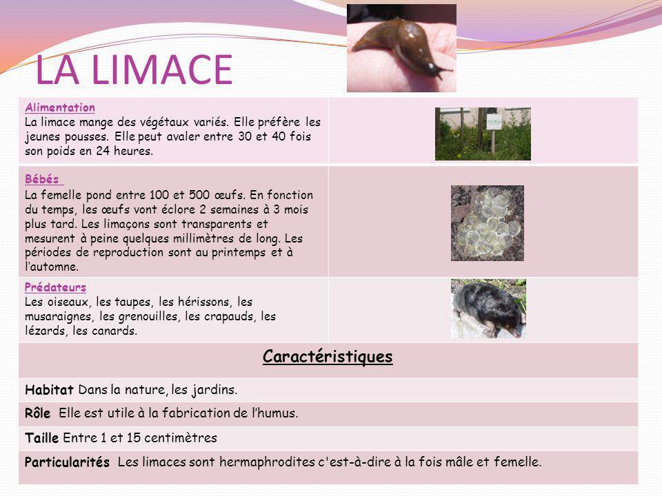 LA LIMACE Alimentation La limace mange des végétaux variés. Elle préfère les jeunes pousses. Elle peut avaler entre 30 et 40 fois son poids en 24 heur