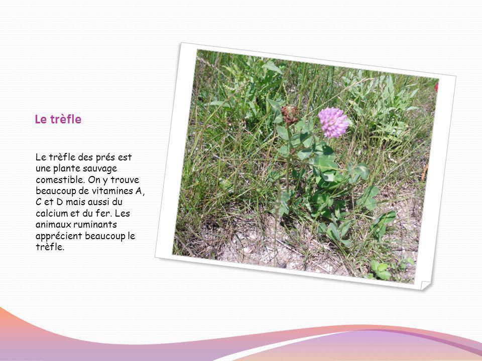 Le trèfle Le trèfle des prés est une plante sauvage comestible. On y trouve beaucoup de vitamines A, C et D mais aussi du calcium et du fer. Les anima
