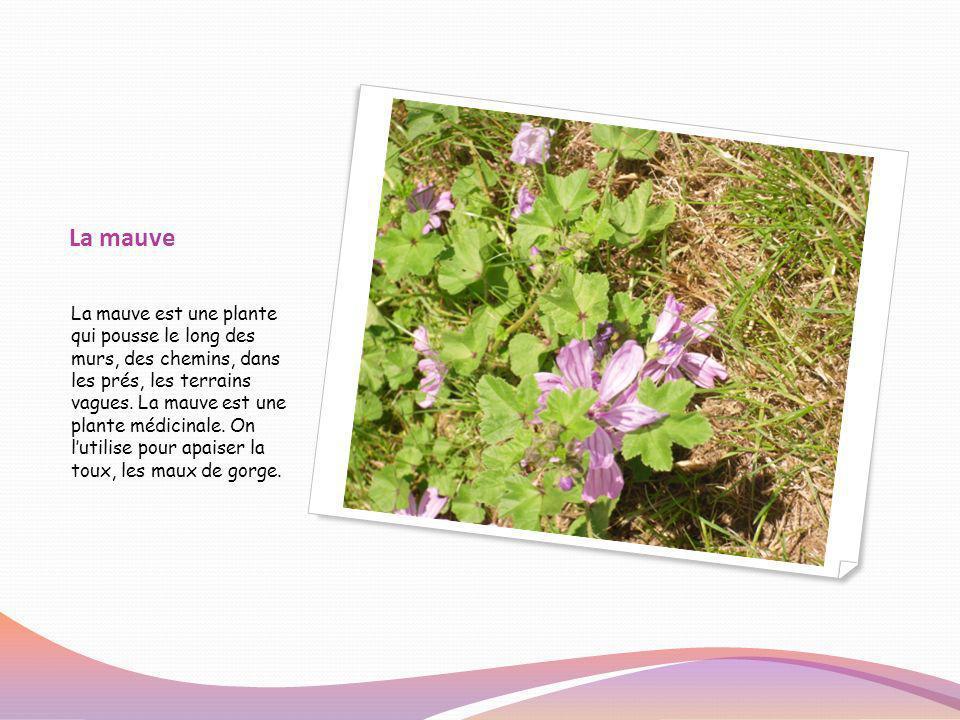La mauve La mauve est une plante qui pousse le long des murs, des chemins, dans les prés, les terrains vagues. La mauve est une plante médicinale. On