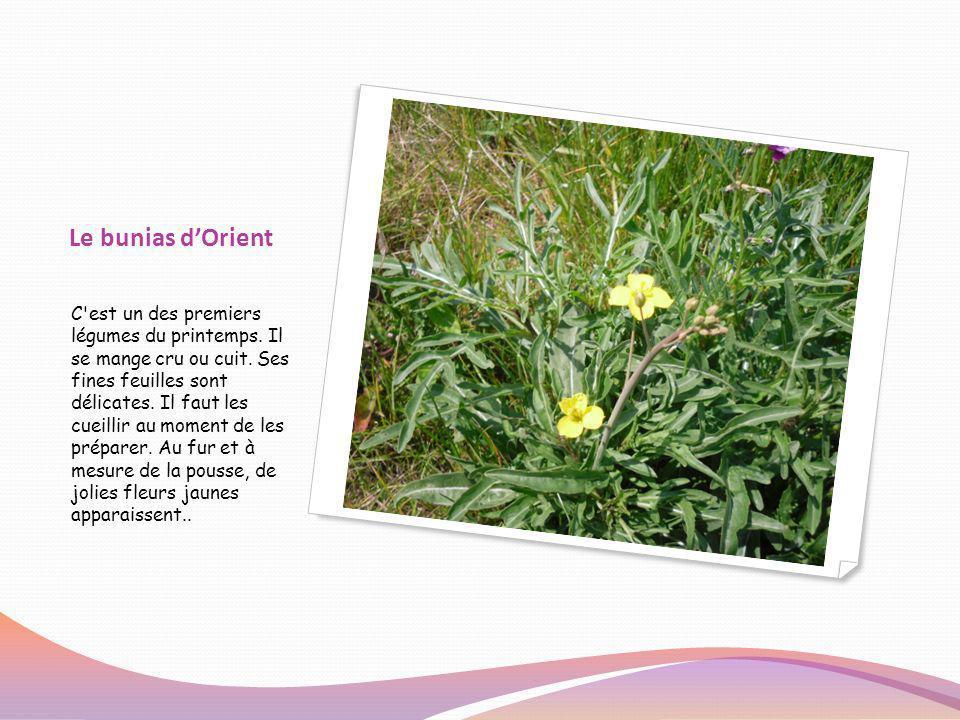 Le bunias dOrient C'est un des premiers légumes du printemps. Il se mange cru ou cuit. Ses fines feuilles sont délicates. Il faut les cueillir au mome
