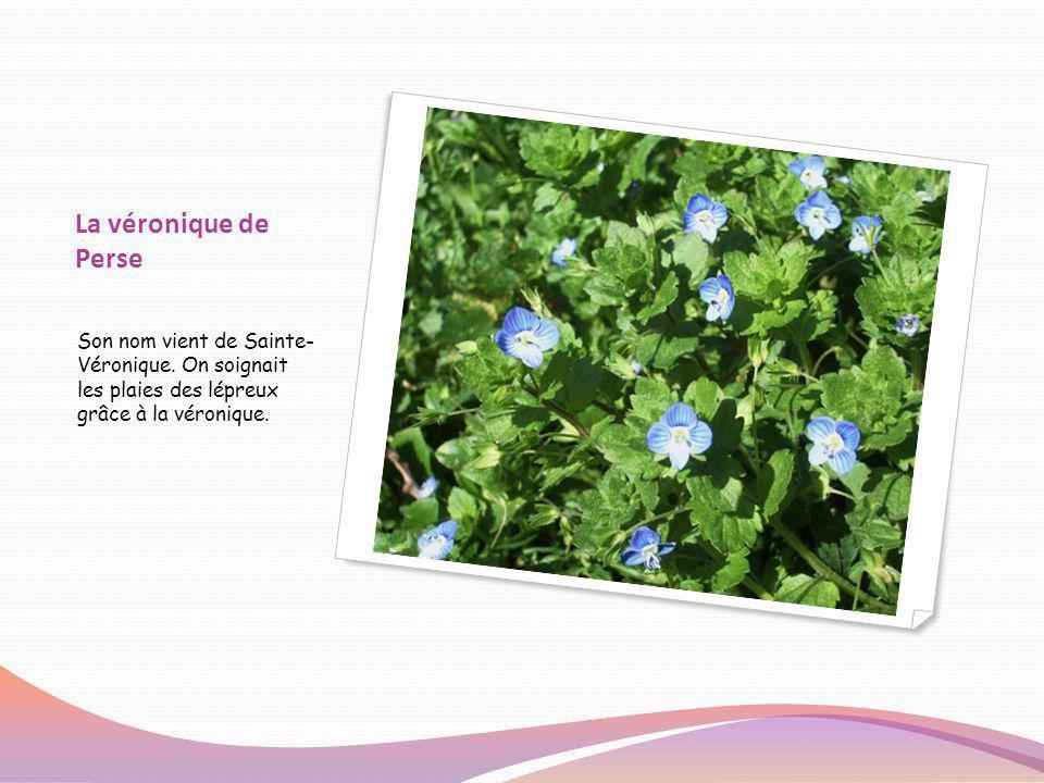 Le trèfle Le trèfle des prés est une plante sauvage comestible.