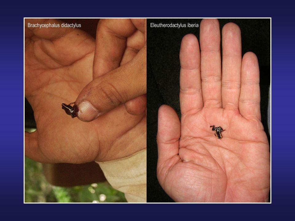 La grenouille Goliath est une grenouille africaine qui peut mesurer jusquà 30 cm de long et peser plus de 3 kg. Vorace, cest la plus grosse grenouille
