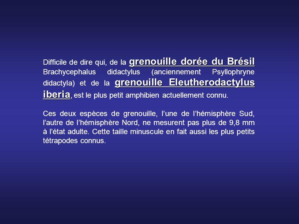 grenouille dorée du Brésil grenouille Eleutherodactylus iberia Difficile de dire qui, de la grenouille dorée du Brésil Brachycephalus didactylus (anciennement Psyllophryne didactyla) et de la grenouille Eleutherodactylus iberia, est le plus petit amphibien actuellement connu.