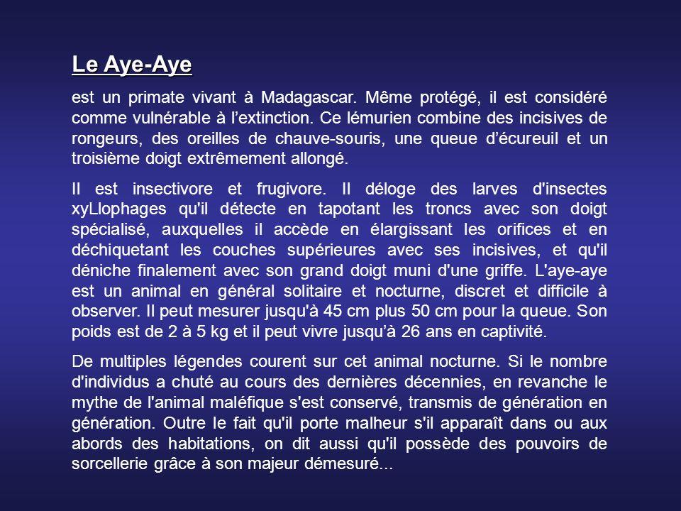 Le Aye-Aye est un primate vivant à Madagascar.