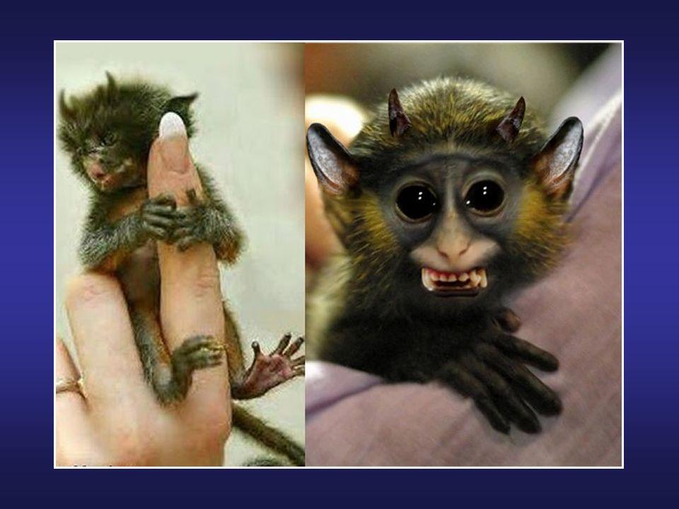 Le Aye-Aye est un primate vivant à Madagascar. Même protégé, il est considéré comme vulnérable à lextinction. Ce lémurien combine des incisives de ron