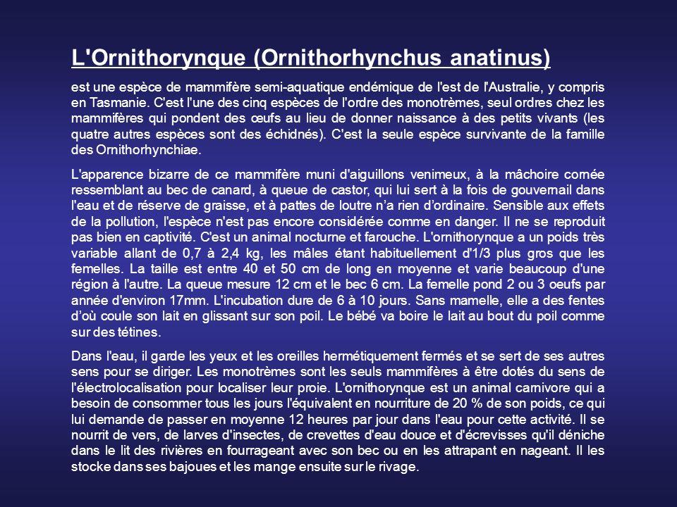 L Ornithorynque (Ornithorhynchus anatinus) est une espèce de mammifère semi-aquatique endémique de l est de l Australie, y compris en Tasmanie.