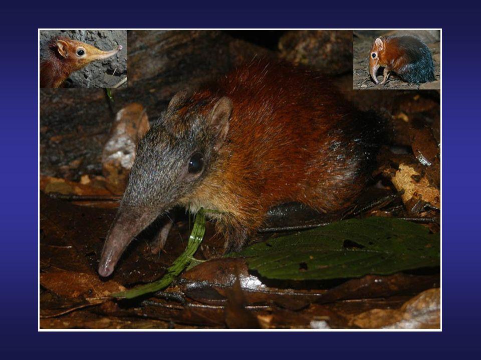 L'échidné à nez court (Tachyglossus aculeatus) ou échidné australien est un mammifère vivant pratiquement partout en Australie; il n'est absent que da