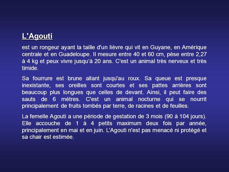 L Agouti est un rongeur ayant la taille d un lièvre qui vit en Guyane, en Amérique centrale et en Guadeloupe.