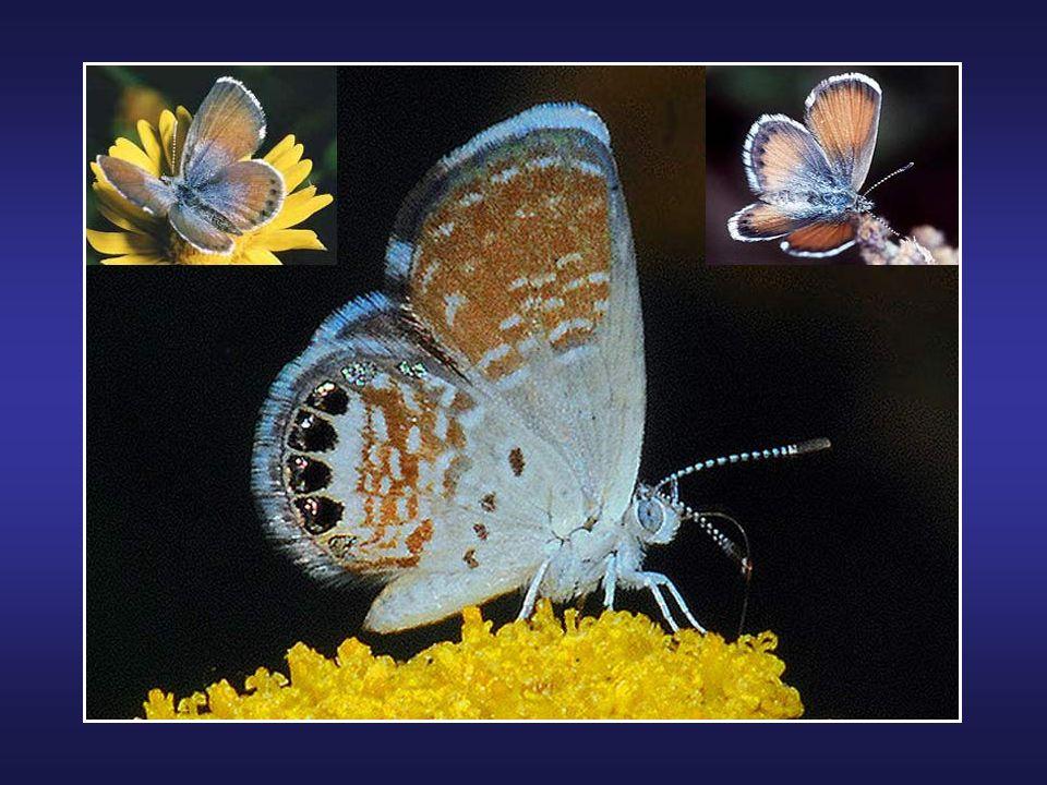 Le papillon Attacus atlas (ou Atlas) est un lépidoptère appartenant à la famille des Saturniidae. Cette espèce se rencontre de lInde à la Malaisie en