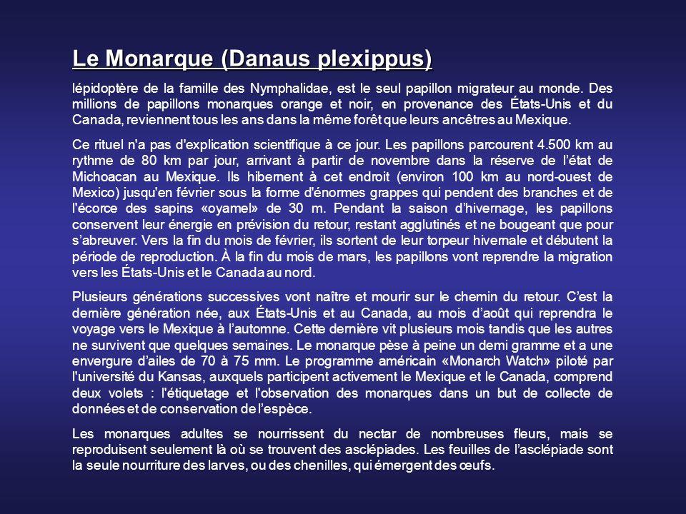 Le Monarque (Danaus plexippus) lépidoptère de la famille des Nymphalidae, est le seul papillon migrateur au monde.
