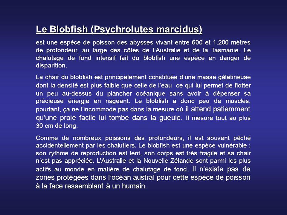 Le Blobfish (Psychrolutes marcidus) est une espèce de poisson des abysses vivant entre 600 et 1.200 mètres de profondeur, au large des côtes de lAustralie et de la Tasmanie.