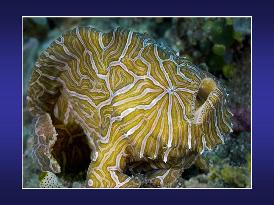 Le Blobfish (Psychrolutes marcidus) est une espèce de poisson des abysses vivant entre 600 et 1.200 mètres de profondeur, au large des côtes de lAustr
