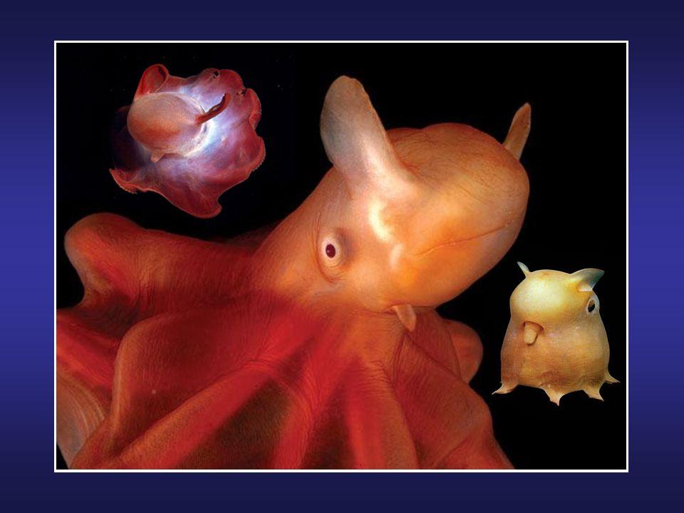 Le Psychedelica est une nouvelle espèce de poisson découverte par des plongeurs en Indonésie en 2008. Il a été étudié et baptisé