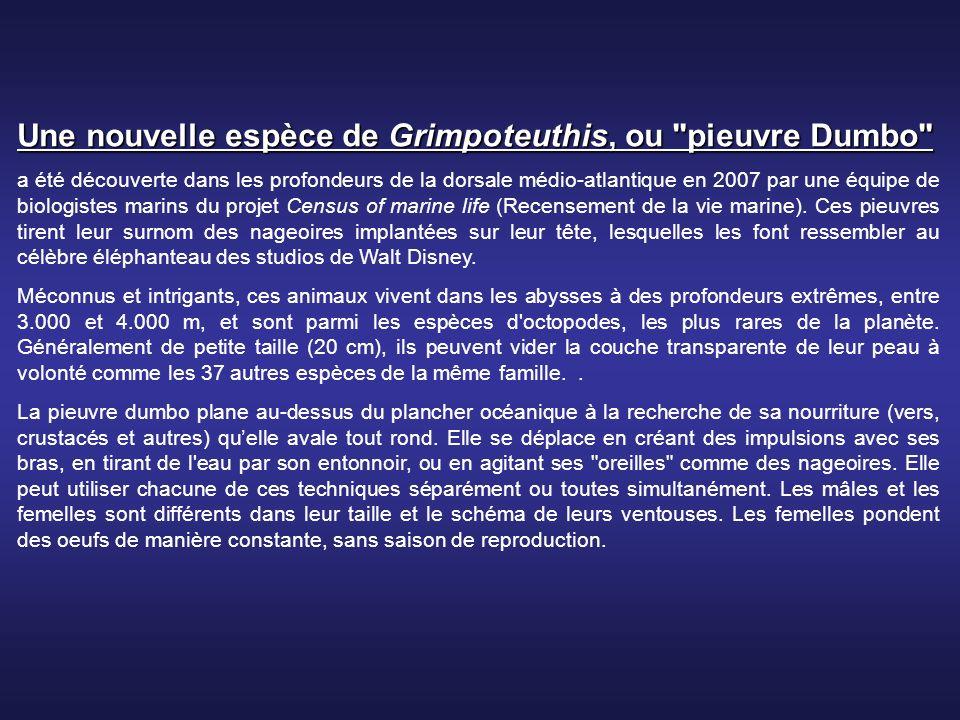 Une nouvelle espèce de Grimpoteuthis, ou pieuvre Dumbo a été découverte dans les profondeurs de la dorsale médio-atlantique en 2007 par une équipe de biologistes marins du projet Census of marine life (Recensement de la vie marine).