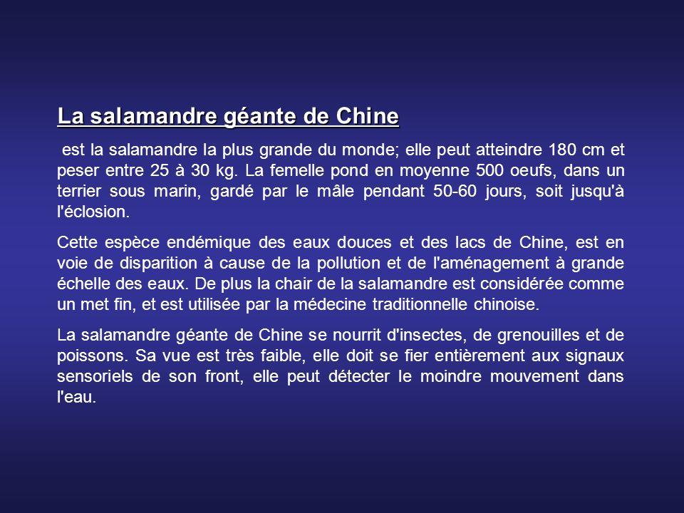 La salamandre géante de Chine est la salamandre la plus grande du monde; elle peut atteindre 180 cm et peser entre 25 à 30 kg.